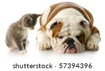 Stock photo kitten looking down at english bulldog puppy that is laying down sulking with reflection on white 57394396