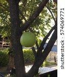 Small photo of Calabash tree