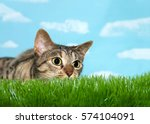 Stock photo young tabby cat peaking over grass to viewers right pupils dilated ready to pounce blue 574104091