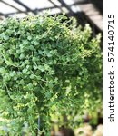 Small photo of Dischidia hanging green plant.