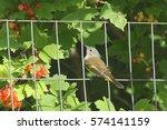 Small photo of American Redstart (female)