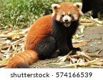 Red Panda Or Firefox In Chengd...