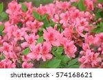 pink azalea blossom in... | Shutterstock . vector #574168621