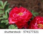 paeonia suffruticosa in japan. | Shutterstock . vector #574177321
