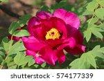 paeonia suffruticosa in japan. | Shutterstock . vector #574177339