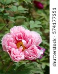 paeonia suffruticosa in japan. | Shutterstock . vector #574177351