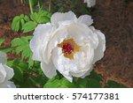 paeonia suffruticosa in japan. | Shutterstock . vector #574177381