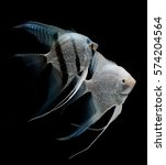 Angel Fish Isolated On Black...