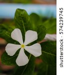 Small photo of White vinca flower