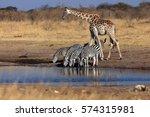 the plains zebra  equus quagga  ... | Shutterstock . vector #574315981