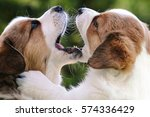 Stock photo cardigan welsh corgi puppies playing 574336429