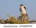 Small photo of tiny african pygmy falcon sits at bush top in morning sunshine