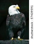 Bald Eagle  Lat. Haliaeetus...