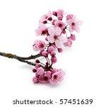 pink cherry blossom on white | Shutterstock . vector #57451639