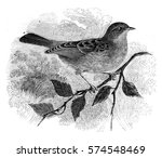dunnock  accentor modularis ... | Shutterstock . vector #574548469