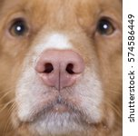 Small photo of Dog's nose. Pink nose. Close up shot. Dog breed is Nova scotia duck tolling retriever also known as toller.