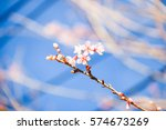 wild himalayan cherry with blue ... | Shutterstock . vector #574673269