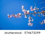 wild himalayan cherry with blue ... | Shutterstock . vector #574673299