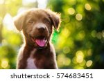 Stock photo cute brown smile happy labrador retriever puppy dog against foliage sunset bokeh background 574683451