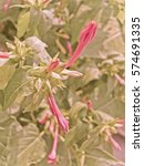 Small photo of Pink Colored Buds of Mirabilis jalapa Nyctaginaceae Kristin Yanker-Hansen, Danville, four-oâ??clocks