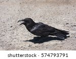 Small photo of Habituated raven resting and cawing after feeding