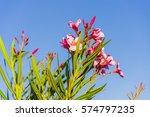 Pink Oleanders And Blue Sky In...