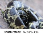 the desert kingsnake ... | Shutterstock . vector #574843141