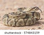 Crotalus Molossus Is A Venomou...