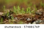 Pine Tree Saplings In The...