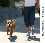 Stock photo dog being walked at venice beach english boxer 574895