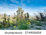 cactus and wildflowers at anza...   Shutterstock . vector #574900009
