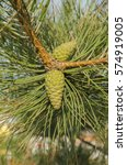 Seed Trees Green Pine Cones An...