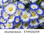 Pericallis Flowers White And...