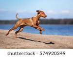 Beautiful Vizsla Dog Is Runnin...