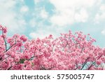 beautiful cherry blossom sakura ... | Shutterstock . vector #575005747