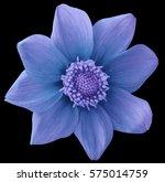 dahlia flower blue turquoise... | Shutterstock . vector #575014759