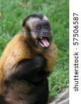 Freaked Out Tufted Capuchin...
