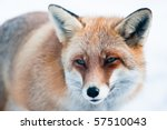 Red Fox  Lat. Vulpes Vulpes  In ...