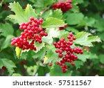 Red Berries On A Bush Viburnum