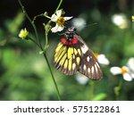 Redbase Jezebel Butterfly ...