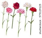 set carnation flowers. white ... | Shutterstock . vector #575129125