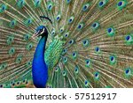 blue peacock with colorful... | Shutterstock . vector #57512917