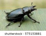 Detail Of Big Black Stag Beetle