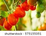 Growing Tomato Vine Ripe...