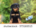 Beautiful Rottweiler Puppy...