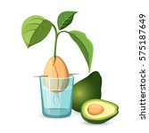 avocado growing bone  stem and... | Shutterstock .eps vector #575187649