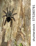 Small photo of Furry tarantula alfresco walking along the tree trunk. Amazon forest in the Madidi National Park, Bolivia Madidi National Park can be reached from Rurrenabaque if you cross the Beni River.