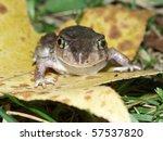 Spadefoot Toad (Scaphiopus holbrookii) - southern Illinois.