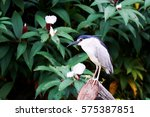 Black Crowned Night Heron ...