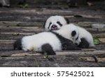 giant pandas two panda cubs... | Shutterstock . vector #575425021